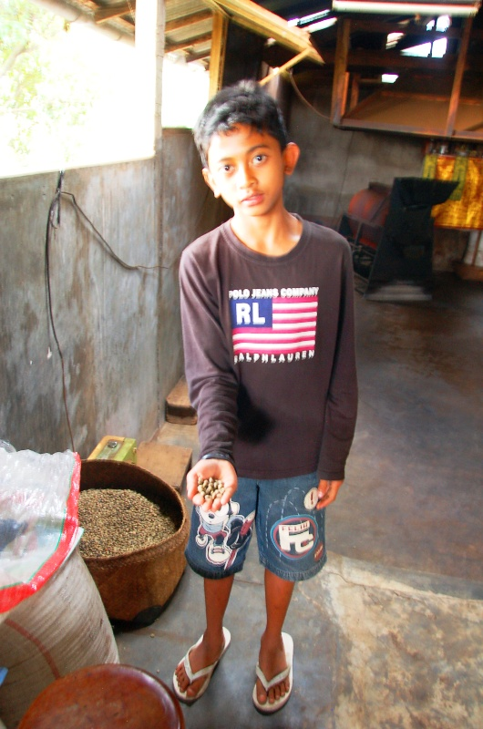 Bali coffee factory: Made showing raw, dried coffee beans.Munduk Bali