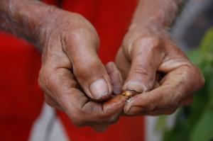 Pak Beni demonstrating white pepper process. Munduk, Bali