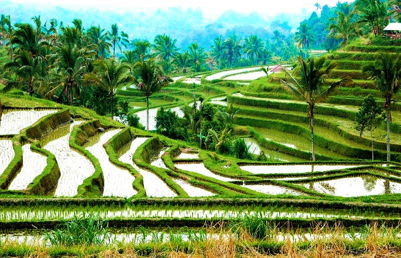 Rice Fields at Jatiluwih Bali