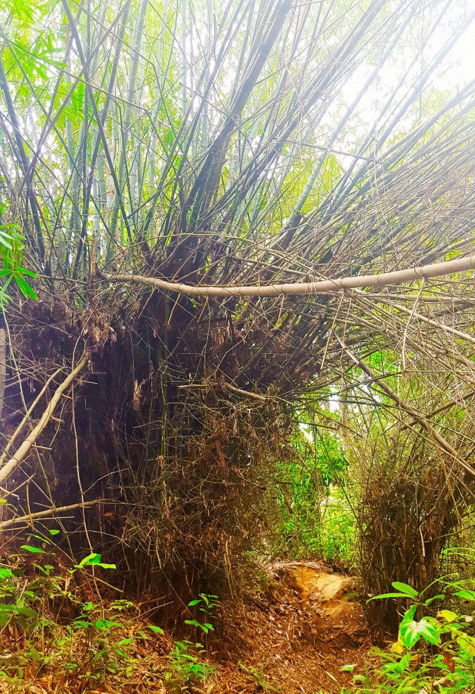 Bamboo patch.balikpapan rain forest