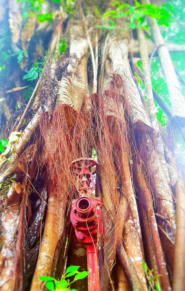 Hydrant in banyan tree.balikpapan indonesia