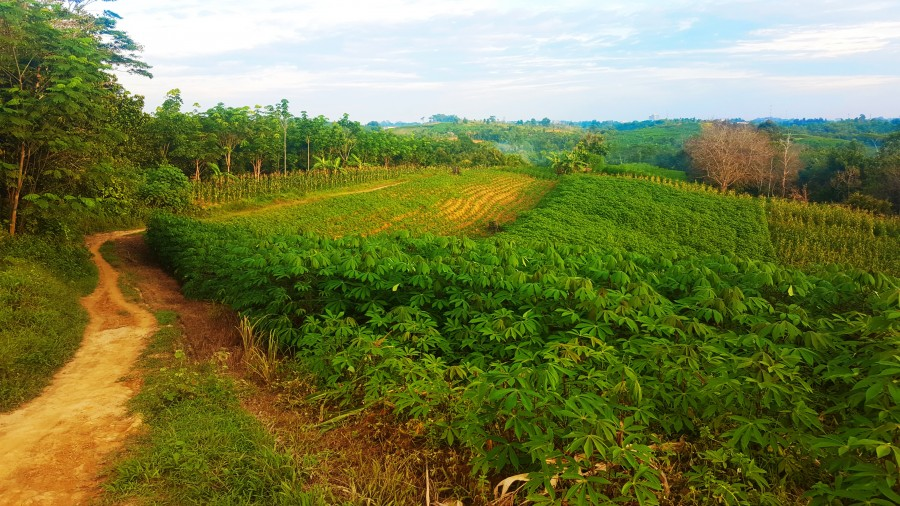 Path winding through tapioca and corn fields in East Kalimantan, Indonesia